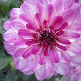 Dahlia by Viive Selg - Flowers Flower Gardens