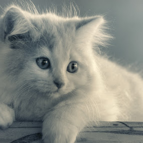 daydream by Aditya Nugraha - Animals - Cats Portraits ( cat )
