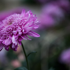Subtle by Peter Marzano - Nature Up Close Flowers - 2011-2013 ( macro, purple, violet, pink, flowers, spring )