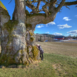 1000 years old oak. by Roger Gulle Gullesen - Nature Up Close Trees & Bushes