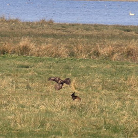 Buzzard swooping in on a Hare but didn't attack it by Chris Mcgurgan - Novices Only Wildlife