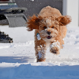 Coming at you!!! by Steven Liffmann - Animals - Dogs Running ( playing, cold, snow, puppy, cavapoo, dog, running )