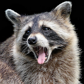 Portrait of Raccoon by John Phielix - Animals Other Mammals