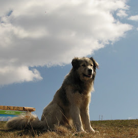 *** by Adriana Petcu - Animals - Dogs Portraits ( mountain, nature, dog )