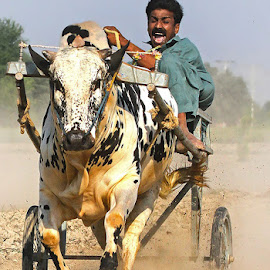 Bull Cart Race by Abdul Rehman - Sports & Fitness Other Sports ( thrill, pakistan, multan, punjab, bull, race )