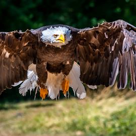 Eagle by Darren Sutherland - Animals Birds