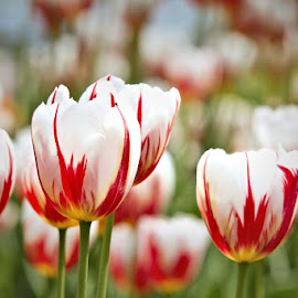 by Lena Arkell - Flowers Flower Gardens ( red, green, white, tulips, spring,  )