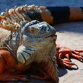 by Goran Svetlecic - Animals Reptiles