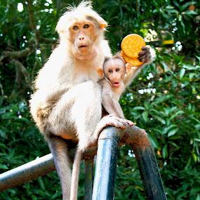 Maternal love by Umed Jadeja - Animals Other Mammals ( pwcbabyanimals, baby, monkey )