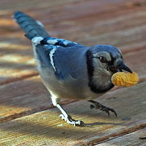 Blue Jay Peanut Stealer by Gary Amendola - Animals Birds ( bird, peanut, blue, blue jay,  )
