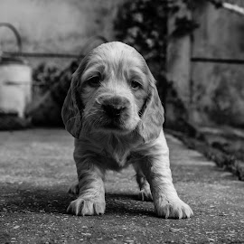 Old Man Puppy by Bearded Egg - Animals - Dogs Puppies ( black and white, pet, pup, puppy, dog )