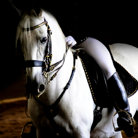 Lipizzaner 01 by Mari du Preez - Animals Horses ( stallion, equine, horse, lipizzaner, white horse )