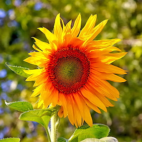 by Bruce Newman - Flowers Flower Gardens ( natural light, nature, vivid, brilliant colors, depth of field, sunflower,  )