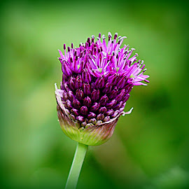 allium by Caroline Beaumont - Flowers Single Flower ( allium )