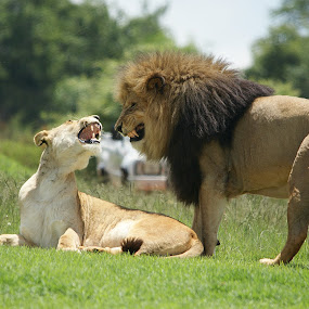 Cmon baby by Charmane Baleiza - Animals Lions, Tigers & Big Cats ( charmane baleiza, lion, lioness, predators mating lions, wildlife )