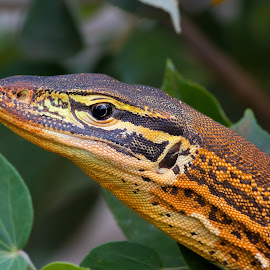 by Steve Hunt - Animals Reptiles ( sand monitor, queensland, australia )