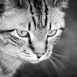 Luka by Landi Cordier - Animals - Cats Portraits ( cat, staring, serenity, majestic, master,  )