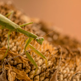 Praying Mantis by Werner Ennesser - Animals Insects & Spiders