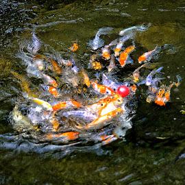 playing Football by Daril Sugito - Animals Fish