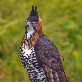 Eagle 2 by Clifford Swall - Animals Birds ( bird, san diego zoo, eagle, fowl, wildlife )