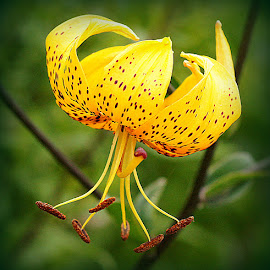 lily by Caroline Beaumont - Flowers Single Flower ( recurved petals, lily, spotted lily, yellow lily, turks cap. )