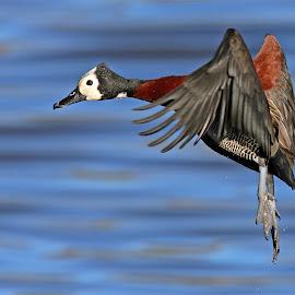 Whistling duck by Johann Harmse - Animals Birds ( nature, duck, bird, birds, wildlife )
