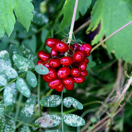 Juicy by Jazz Johnson - Nature Up Close Other plants ( nature, landscape, wild berries, garden, berries )