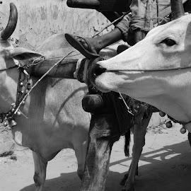 Bull Cart by Megha Chagtoo - City,  Street & Park  Street Scenes (  )