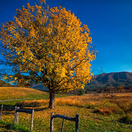A Lone Tree with Autumn Colors by Carol Ward - Landscapes Mountains & Hills ( field, tn, mountains, fall colors, tree, autumn, great smoky mountains national park, smoky mountains )