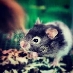 Hamster by Shoox De LightPainter - Instagram & Mobile Instagram ( kuching, hamster, sarawak )