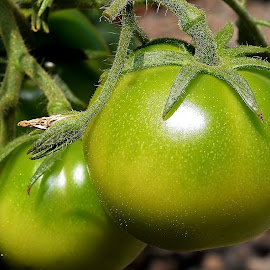 Green Tomato's  by Randy Young - Nature Up Close Gardens & Produce