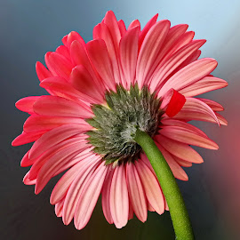 Pink gerbera by Prema Pangi - Flowers Single Flower