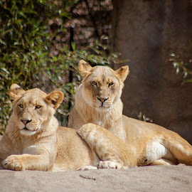 by Misty Webb - Animals Lions, Tigers & Big Cats