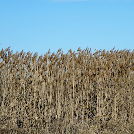 reed by Ivan Ristić - Nature Up Close Leaves & Grasses ( blue sky, winter, nature, blue, yellow, swamp, reeds )