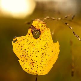 Leaf in sunset light by Katie Shutter Bunny Meadows - Nature Up Close Leaves & Grasses ( water, drizzle, macro photography, leaf, yellow, sunlight, leaves, close up, macro, backlight, autumn, sunset, fall, sunshine, raindrops, light, rain )