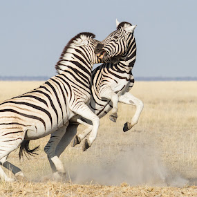 playfull by Rian Van Schalkwyk - Animals Other Mammals ( savanna, playfull, etosha national park, zebra,  )