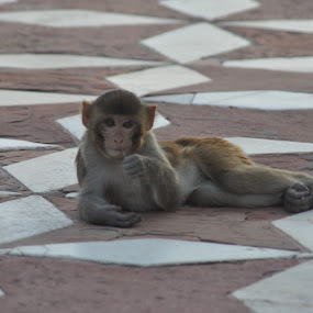 Relaxing in the Taj by Ethan Fox Miles - Animals Other Mammals