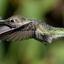 HummerFun Wings by Raphael RaCcoon - Animals Birds ( bird, hummingbird )