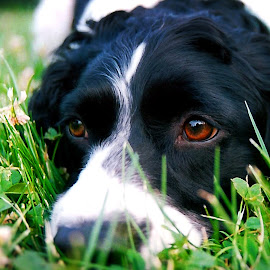 Kirby by Dale Minter - Animals - Dogs Portraits ( canine, attentive, springer spaniel, grass, green, summer, dog, clover, eyes,  )