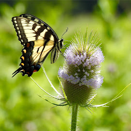 Eastern Tiger Swallowtail. Central Ohio.  by Adam Brandemihl - Novices Only Wildlife ( #butterfly )
