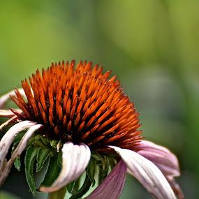 by Victoria Eversole - Flowers Single Flower ( single flower )