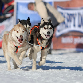by Bencik Juraj - Animals - Dogs Running ( sled dogs, husky, mushing, dog,  )