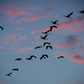 Fish Lake Cranes - returning home by Michael Haagen - Abstract Patterns ( patterns, cranes, silhouette, sunset, birds )