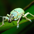 Turquoise Broad-nosed Weevil
