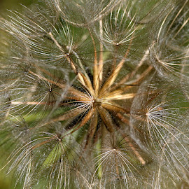 Fairy Umbrellas by Chrissie Barrow - Nature Up Close Other plants ( plant, wild, macro, pattern, jack-go-to-bed-at-noon, meadow salsify, closeup, seedhead,  )