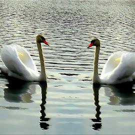 Twins by Zuzana Stolzová - Uncategorized All Uncategorized ( water, ponds, nature, swan, birds )