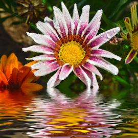 nice gazania by LADOCKi Elvira - Digital Art Things ( nature, flowers, garden )