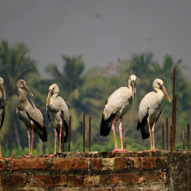 An evolution by Nisha B. - Animals Birds ( wetlands, kolkata, birdsofindia, ramsar, birds, stork, savewetlands, kolkatabirds, wildlife,  )