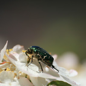Rosechafer by Rich Malone - Animals Insects & Spiders ( macro, emerald, green, rosechafer, beetle, chafer )