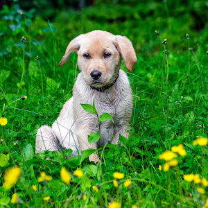 Yellow Lab-29.jpg